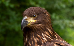 Portrait d'un Brown Eagle d'or sur un fond trouble vert Images stock