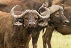 Buffalo de cap Image stock