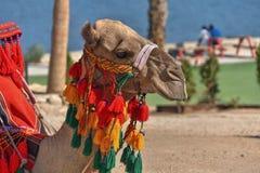 Portrait d'un camela visuel armé au harnais Arabe lumineux traditionnel, dans la perspective des troncs de paume photographie stock