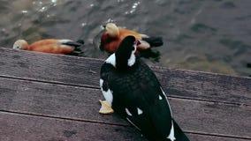 Portrait d'un canard avec la réflexion dans l'eau verte banque de vidéos