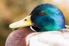 Portrait d'un canard masculin Photographie stock