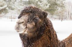 Portrait d'un chameau dans le zoo pendant chutes de neige Images stock