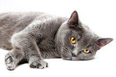 Portrait d'un chat britannique menteur de shorthair, sur le fond blanc Images libres de droits