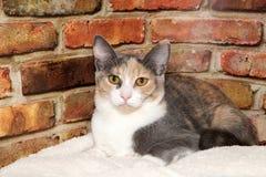 Portrait d'un chat de calicot dilué image stock