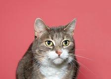 Portrait d'un chat de calicot dilué photographie stock libre de droits