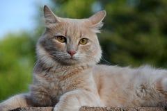 Portrait d'un chat de cheveux courts Image stock