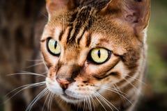 Portrait d'un chat de race du Bengale Photo libre de droits