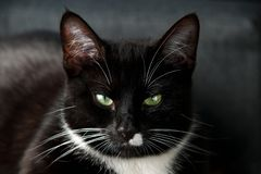 Portrait d'un chat domestique noir et blanc avec les yeux verts photos libres de droits