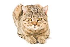 Portrait d'un chat droit écossais Photographie stock libre de droits