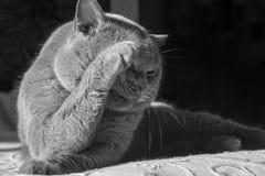Portrait d'un chat gris avec le plan rapproché orange de yeux, chat bleu britannique de Shorthair Photo stock