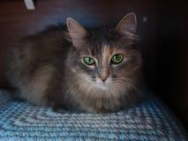 Portrait d'un chat gris avec les yeux verts images stock