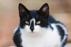 Portrait d'un chat noir et blanc beau Photos stock