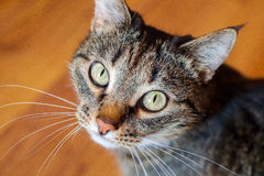 Portrait d'un chat ordinaire Image libre de droits