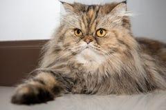 Portrait d'un chat persan d'animal familier Photo stock