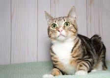 Portrait d'un chat tigré étonné sur une couverture verte à la maison Image libre de droits