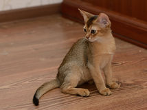 Portrait d'un chaton abyssinien mignon Photo libre de droits