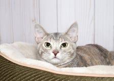 Portrait d'un chaton tigré dilué dans un lit de minou photos stock