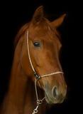 Portrait d'un cheval Photo libre de droits