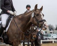 Portrait d'un cheval brun de sports Monte sur un cheval Photo libre de droits