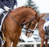 Portrait d'un cheval brun de sports Monte sur un cheval Thoroughbr Image libre de droits