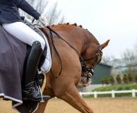 Portrait d'un cheval brun de sports Monte sur un cheval Thoroughbr Images stock