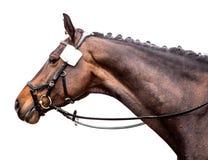 Portrait d'un cheval de sports sur un fond blanc photographie stock libre de droits