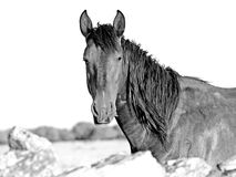 Portrait d'un cheval en noir et blanc photo stock