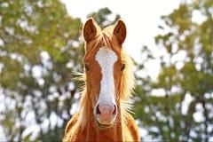 Portrait d'un cheval gratuit sur un champ en Argentine photographie stock