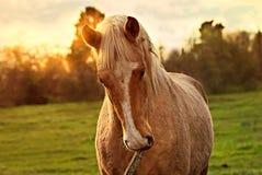 Portrait d'un cheval gratuit sur un champ en Argentine images libres de droits