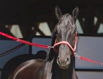 Portrait d'un cheval noir Photographie stock libre de droits