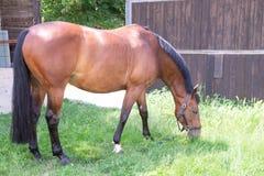 Portrait d'un cheval rouge sur un fond vert La tête d'un animal dans le profil Une jeune jument d'un Arabe photographie stock libre de droits
