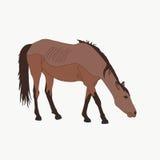 Portrait d'un cheval sauvage de désert de Namib Image libre de droits