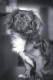 Portrait d'un chien Photos stock