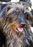 Portrait d'un chien avec la langue  Image stock