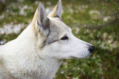Portrait d'un chien blanc Images stock