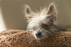 Portrait d'un chien chauve chinois Photographie stock