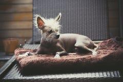 Portrait d'un chien chauve chinois Photos libres de droits