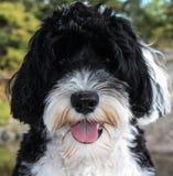 Portrait d'un chien d'eau portugais Photographie stock libre de droits