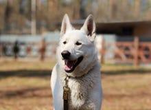 Portrait d'un chien de berger suisse blanc heureux avec sa langue dehors sur une balade en parc ensoleillé Photographie stock