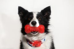 portrait d'un chien de border collie Image libre de droits