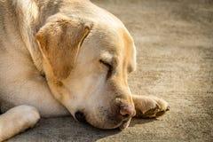 Portrait d'un chien de Labrador Images libres de droits