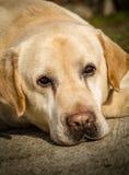 Portrait d'un chien de Labrador Photo libre de droits