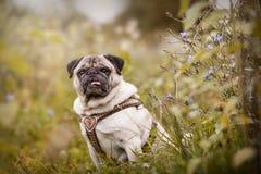 Portrait d'un chien de roquet dehors Photographie stock libre de droits