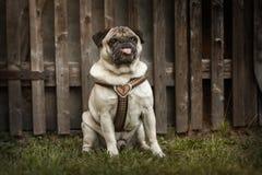 Portrait d'un chien de roquet dehors Photos libres de droits