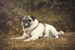 Portrait d'un chien de roquet dehors Images libres de droits