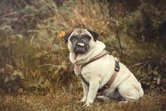 Portrait d'un chien de roquet dehors Photos stock