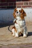 Portrait d'un chien du Roi Charles Cavalier sur une laisse photos stock