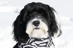 Portrait d'un chien d'eau portugais portant un bandana Image stock