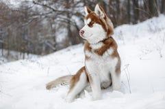 Portrait d'un chien enroué dans la forêt d'hiver Photographie stock