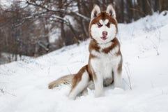 Portrait d'un chien enroué dans la forêt d'hiver Photographie stock libre de droits